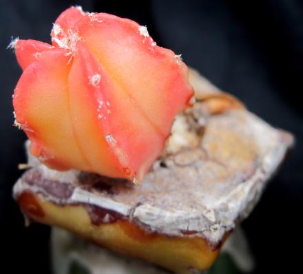 Questa pianta innestata presenta una variegatura molto bella.