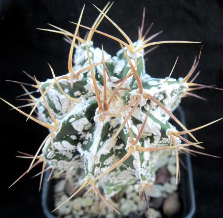 Questa è una cultivar di origine ornatum dal nome hannya