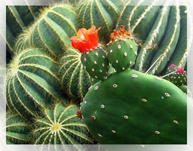 La fioritura delle piante grasse è il frutto di un'ottima coltivazione. Ci permette anche di impollinare la pianta con altre sue simili o di specie diverse per creare ibridi intergenere.