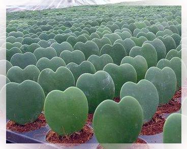 Hoya è un genere di piante della famiglia delle Asclepiadaceae, comprendente circa 200 specie differenti, diffuse nel sud est dell'Asia, in Australia ed in Polinesia. Per la gran parte sono rampicanti, ma alcune si presentano con l'aspetto di arbusti, altre sono striscianti.