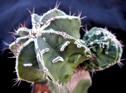 Ibrido interessante tra il fukuryu e l'ornatum hannya. Presenta un bel disegno e delle spine che richiamano la specie ornatum.