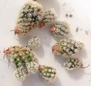 I polloni delle piante grasse, specie se già radicati, si possono interrare ed ottenere così delle nuove piantine.