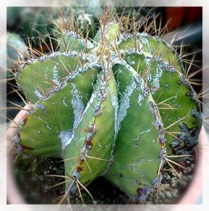 Il rinvaso o travaso delle piante grasse e succulenti è una tecnica molto semplice che con le opportune accortezze evita di pungersi, e permette una buona crescita della pianta.