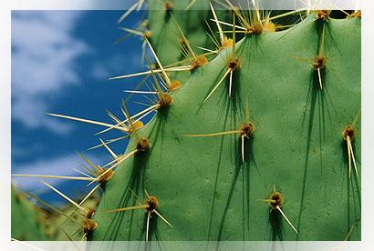 La propagazione delle piante succulente è una tecnica utile per riprodurre le cactacee e propagare i polloni.