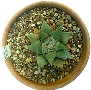 Ariocarpus appena rinvasato nel suo nuovo vaso con substrato fertile e concimato.