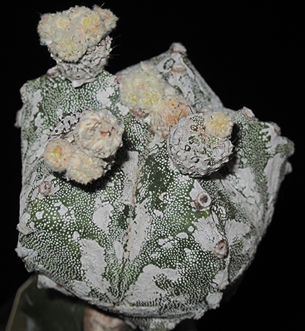 astrophytum myriostigma hakuun - cultivar giapponese