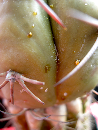 Il loro estremo adattamento all'ambiente arido, fa sì che questo tipo di piante sia considerato robusto o tollerante alle disattenzioni sulle annaffiature o per l'esposizione alle alte temperature. Per opposte considerazioni, presentano invece molte difficoltà in situazioni di scarsa illuminazione e alle basse temperature (il minimo vitale è generalmente di 5° C ).
