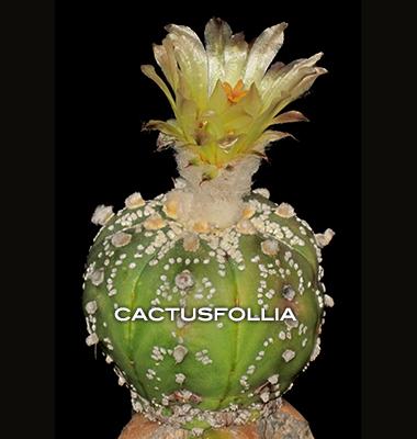 Prima fioritura di questo astrophytum asterias innestato su myrtillocactus