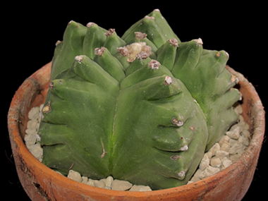 L'astrophytum è un genere comune di cactacee che comprende anche numerose cultivar ricercate, coltivate soprattutto in giappone.