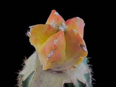 Le variegature delle piante grasse sono una caratteristica dovuta alla mancanza, più o meno accentuata, di clorofilla. Questo astrophytum è completamente giallo, diventa di colore arancione se posto in posizione soleggiata.