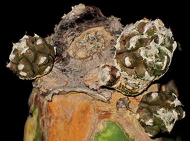 Astrophytum myriostigma kikko forma nuda e pollonante.