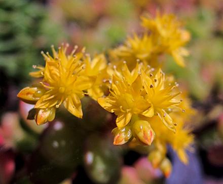 Crassula è un genere di piante succulente sempreverde che appartiene alla famiglia delle Crassulaceae. Il suo nome deriva dal latino crassus (grasso). Originario del Sudafrica, comprende circa 300 specie anche molto diverse tra di loro.