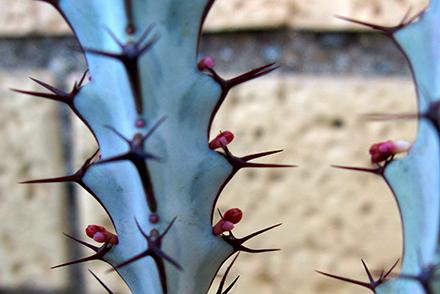 Le Euforbiacee (Euphorbiaceae Juss., 1789) sono una famiglia di piante a fiore dicotiledoni, tradizionalmente collocate nell'ordine Euphorbiales, ma appartenenti all'ordine Malpighiales in base alla moderna classificazione APG.[1]  La famiglia è composta da 229 generi e oltre 6.500 specie[2], con habitus vario (alberi, arbusti, liane, succulente cactiformi, erbacee), diffuse in tutti i climi, esclusi quelli artici.