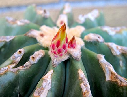 I Ferocactus sono un genere di piante succulente appartenenti alla famiglia delle Cactaceae (sottofamiglia Cactoideae, tribù Cacteae). La pianta si presenta di forma globosa per poi diventare cilindrica in età adulta (anche se alcune specie rimangono globose o globose-schiacciate). In habitat le piante possono misurare dai circa 30 cm. di altezza e diametro del Ferocactus viridescens, fino ad arrivare eccezionalmente ad altezze di 4 metri e 80 cm. di diametro (Ferocactus diguetii). Le spine sono forti, dure, diritte, più o meno uncinate all'apice, di colore rosso, rosso-marrone o gialle. I fiori che si formano all'apice della pianta sono di forma campanuliforme variamente colorati dal rosso al giallo, arancioni o viola.