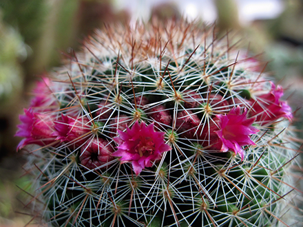Le piante hanno tutte fusti globulari o cilindrici solitamente bassi; possono essere sia ramificanti che accestenti. I tubercoli, di forma varia (cilindrici, conici, tetragonali), sono forniti di un'areola più o meno lanosa provvista di spine. Queste, differenziate in radiali e centrali, hanno forma, lunghezza e consistenza le più varie. In molte specie del genere una o più spine centrali sono uncinate. La robustezza di alcune di esse è tale da essere utilizzate, dalle popolazioni locali, come ami da pesca. Tra i tubercoli vi è l'ascella, a seconda delle specie glabra o lanosa. Da qui avviene la fioritura che nel genere Mammillaria è periapicale (in altre specie di cactaceae la fioritura è areolare). Il fiore è piccolo (ma alcune specie hanno fioriture vistose per dimensioni e colore dei fiori), di colore rosa o fucsia o bianco o giallo (verde nella M. marksiana)o variegato. L'anno successivo alla fioritura l'ascella fiorita emetterà il frutto, generalmente allungato e di color rosso (può essere anche verde pallido, giallo, bruno), edule in alcune specie. L'apice è generalmente lanoso. Alcune specie di Mammillaria, appartenenti al sub genere Galactochylus (Mammillaria s.s.), se incise emettono un lattice di aspetto simile a quello delle euphorbiae.