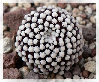 Rinvaso cactus cactusfollia for Piante rare