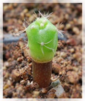 Innesto di plantula di matucana di 2 mesi su ipocotile, giovane plantula di cereus.