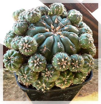 Collezione piante grasse cactusfollia for Foto piante grasse particolari