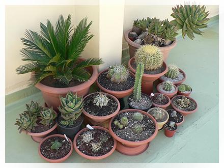 Coltivazione piante grasse cactusfollia for Piante grasse succulente