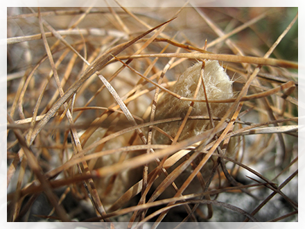L'astrophytum crassispinoides è una cultivar molto conosciuta e diffusa. La principale caratteristica di questa pianta grassa, rispetto agli altri cactus della famiglia astrophytum, è la colorazione del fiore completamente gialla.