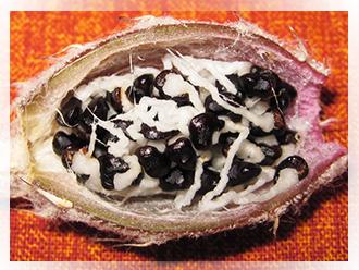 Astrophytum caput-medusae (Velazco & Nevarez) 2003 - Dapprima considerato genere a sé stante e nominato Digitostigma caput-medusae nel 2002, successivamente alcuni caratteri morfologici hanno fatto rientrare questa pianta nel genere Astrophytum. Il fiore è in tutto simile a quello dell'astrophytum myriostigma, tanto da far supporre inizialmente che questa specie fosse una deformazione genetica spontanea di quest'ultimo. La forma dell'Astrophytum caput-medusae è completamente diversa rispetto a quella degli altri astrophytum. Esso è caratterizzato da alcuni tubercoli che si dipartono da una radice carnosa e che portano sia i caratteristici puntini che le areole dalle quali si sviluppano i fiori e i frutti.
