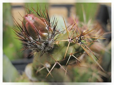 Questo cactus è tra le specie più facili da coltivare e da propagare. Indicato per l'esposizione in pieno sole, annaffiatura regolare da marzo ad ottobre. Ha bisogno di un buon drenaggio e di essere coltivata in un luogo fresco durante il riposo invernale. Senza questo periodo invernale freddo che normalmente non otterranno molte gemme.