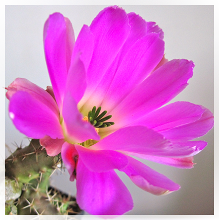 L'Echinocereus è una Pianta succulenta appartenente alla famiglia delle Cactaceae e alla tribù delle Pachycereeae originaria del Messico e dell'America del nord. Il suo nome deriva dal greco echìnos, cioè riccio, in riferimento a fusti e frutti molto spinosi e cereus cioè candela per il portamento dei suoi fusti. L'echinocereus ha fusti cilindrici che si erigono a colonna, strisciano sul terreno o pendono dalle rocce; hanno numerose costolature e areole con poche o molte spine. I fiori nascono sopra le areole, a volte attraverso la lacerazione dell'epidermide. Eccetto alcune specie solitarie, molte altre, si sviluppano a gruppi, formando dei piccoli cespi con diametri fino a due metri (E. brandegeei,E.stramineus, ecc. etc).
