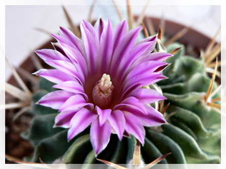 Lo Stenocactus è una pianta originaria dell'America Centrale, in particolare del Messico. Questa succulenta si presenta in forme globulari o, più raramente, leggermente cilindriche. Presenta molte costolature su cui si ergono spine spesse e piatte. La sua larghezza oscilla fra i 10 e i 15 cm, ma la sua altezza è piuttosto modesta. Produce dei bellissimi fiori bianchi con striature rosse. Questa pianta succulenta è una specie molto facile dacoltivare, ed è infatti una pianta molto rustica. La temperatura minima che riesce a sopportare è di circa 5° sotto zero, ma la sua temperatura ideale è sui 25° circa. Può fiorire molto precocemente, già a partire da aprile. Deve essere sempre annaffiata abbondantemente da aprile ad ottobre, mentre d'inverno è meglio lasciarla a riposo bagnandola solo una volta ogni mese circa.