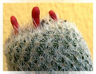 L'Epithelantha è una pianta succulenta della famiglia delle cacteae, di forma globosa e di piccole dimensioni, presenta un'infinità i piccole areole irte di spine che ricoprono per intero il fusto. Produce fiori rossi che sbocciano sul suo apice nel periodo estivo.