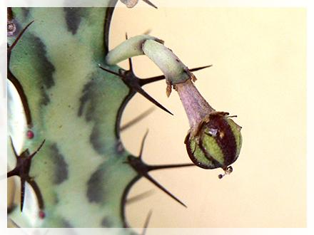 Il genere Euphorbia L. comprende un vasto numero di piante dicotiledoni della famiglia delle Euphorbiaceae, erbacee o legnose a seconda della specie.  Il termine Euphorbia deriverebbe dal nome del medico greco Euphorbus, che utilizzava il succo lattiginoso prodotto da queste piante nelle sue pozioni. Era il medico personale di Giuba II e fu questo dotto sovrano a denominare così in suo onore la pianta, all'interno di un trattato che scrisse per illustrarne le virtù terapeutiche.