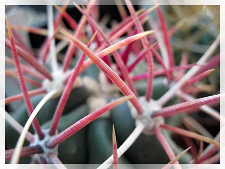 """I Ferocactus sono un genere di piante succulente appartenenti alla famiglia delle Cactaceae (sottofamiglia Cactoideae, tribù Cacteae). La pianta si presenta di forma globosa per poi diventare cilindrica in età adulta (anche se alcune specie rimangono globose o globose-schiacciate). In habitat le piante possono misurare dai circa 30 cm. di altezza e diametro del Ferocactus viridescens, fino ad arrivare eccezionalmente ad altezze di 4 metri e 80 cm. di diametro (Ferocactus diguetii). Le spine sono forti, dure, diritte, più o meno uncinate all'apice, di colore rosso, rosso-marrone o gialle. I fiori che si formano all'apice della pianta sono di forma campanuliforme variamente colorati dal rosso al giallo, arancioni o viola. Originariamente quasi tutte le specie erano classificate nell'allora vasto genere Echinocactus poi successivamente furono distaccate da esso per alcune differenze nei fiori, nei frutti e nei semi. Il nome generico di questo genere (fondato da Britton e Rose nel loro classico lavoro """"The cactaceae"""" pubblicato in quattro volumi tra il 1919 e il 1923) deriva dalla parola ferus-wild, fierce (feroce) e cactus, in riferimento alle spine molto dure e taglienti. I Ferocactus sono piante robuste ed amanti del sole in grado di sopportare anche parecchi mesi di siccità. In coltivazione molte specie non possono raggiungere le dimensioni dei luoghi d'origine ma con un appropriato metodo di coltura ed una adeguata esposizione, si possono ottenere piante sane, di ragguardevoli dimensioni, con spine robuste e in grado di giungere a fioritura."""