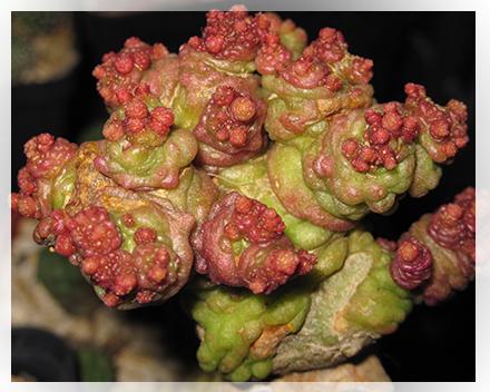 La Mammillaria bocasana è una pianta appartenente alla famiglia delle cactacee, del genere Mammillaria. E' originaria del Messico centrosettentrionale, fu ritrovata per la prima volta nella località Sierra de bocas e per questo ne prende il nome. E' una delle piante succulente più diffuse, presenta un fusto globoso generalmente di quattro o cinque centimetri di diametro, di colore verde chiaro o verde scuro, si riproduce molto facilmente creando grossi gruppi. Ha dei tubercoli sottili di forma vagamente conica disposti a spirale. Le spine sono radiali e di colore bianco, hanno una lunghezza media di 2 cm e sono costituite da gruppi di peli setolosi. I fiori generalmente sono color crema hanno piccole dimensioni e sono prodotti in modo molto abbondante dalla pianta.