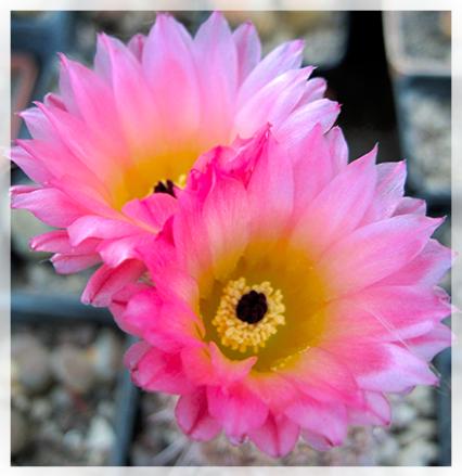 Il notocactus è un Genere originario dell'America latina, di 15 specie di piante perenni succulente. Facili da coltivare, hanno forma allungata o globosa, spine colorate e fiori di medie dimensioni, imbutiformi, con petali stretti, che sbocciano solitari o in cespi alla sommità del fusto, e durano circa una settimana.
