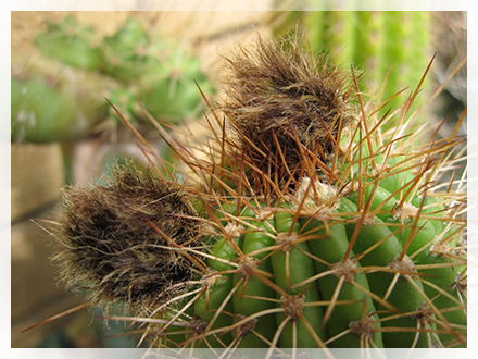 Il trichocereus spachianus è una pianta succulenta con fusto corto, a colonna e costolature fitte, eretto, con scarso sviluppo laterale. Può raggiungere, in coltivazione, circa 2 m di altezza e assume una colorazione biancastra.  D'estate, sulle piante adulte, appare la fioritura che presenta grandi fiori bianchi, notturni, che perdurano fino al mattino successivo e poi appassiscono. Purtroppo non sono profumati.