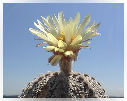 E' infatti caratterizzato da una simmetria perfetta e da areole setose che rafforzano la sua geometria perfetta. La bellezza inoltre è incrementata da puntinature più o meno presenti nel corpo che caratterizzano la specie e le numerosissime cultivar che sono state create grazie alla facilità con cui si ibrida. E' una cactacea globosa, senza spine, originaria del Messico nord-est (Stati di Nuevo León e Tamaulipas) e sud degli Stati Uniti (sud del Texas). L'habitat è caratterizzato da clima caldo temperato, ad una altezza al di sotto dei 500 metri s.l.m. anche se più frequentemente lo troviamo al di sotto dei 200 metri s.l.m. e in aree con precipitazioni medie di 500 mm l'anno. Astrophytum asterias cresce solitamente all'ombra di arbusti spinosi oppure in fessure di rocce e comunque in terreni tendenzialmente calcarei e talvolta in suoli argillosi oppure ghiaosi o salini oppure con PH piuttosto elevato. Ha un fusto pressoché sferico, anche se molto appiattito e concavo al centro del diametro di circa 15 cm in età adulta. Il colore è verde più o meno tendente al grigio con costolature (6-8) divise da solchi più o meno profondi  ed al loro centro si sviluppono delle grandi areole setose più o meno prominenti. I fiori, quasi sempre apicali, sono lunghi circa 3 cm. con un diametro di 6-7 cm dicolore giallo con la parte centrale di un bel rosso. Fra gli Astrophytum è sicuramente una delle specie a crescita più lenta ed è per questo che talvolta lo troviamo innestato per farlo crescere più velocemente.