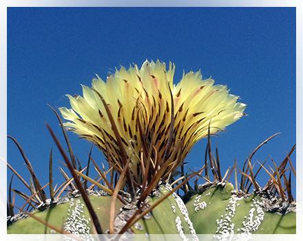 Astrophytum ornatum è una cactacea che fu descritta per la prima volta nel 1828  da Auguste Pyrame De Candolle e chiamata Echinocactus ornatus. E' una specie originaria di areali limitati in Messico (Stati di Querétaro, Hidalgo, Guanajuato e San Luis Potosí) ove cresce ad altitudini comprese tra gli 800 ed i 2.000 metri s.l.m. tra la macchia xerofitica e tra le rocce nei canyon oppure tra le rocce nei boschi di latifoglie. Nello stato di San Luis Potosí é segnalata inoltre una zona zona dover risulta essersi ibridato con altre specie di Astrophytum.  A. ornatum  ha  il corpo grigio-verde, dapprima cilindrico, poi con l'avanzare dell'età colonnare. Può infatti raggiungeree talvolta superare il metro di altezza. Il diametro è di circa 15-30 cm e se visto dall'alto  sembra una stella e da ciò deriva il suo nome. Ha 6-8 costolature più o meno ricoperte di scaglie bianco-argento che formano delle caratteristiche striature. Le costolature sono di solito diritte e talvolta spiralate. Sui bordi delle costolature sono presenti delle areole biancastre sulle quali crescono 5-12 spine non molto lunghe, diritte, gialle o brunastre. I fiori, diurni, giallo pallido, sono grandi 7-10 cm. di diametro e sbocciano più volte nella stagione a partire dall'inizio dell'estate.