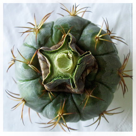 This cactus is gray-green to blue-gray in color and spherical, hemispherical, columnar, or flat-topped in shape. It reaches a maximum size of about 45 centimeters tall by 20 wide. The body is made up of curving sections that twist around the body in a helical fashion. These sections are lined with areoles bearing up to 10 spines each. The pink, gray, or brown spines may be over 4 centimeters long.  The bright pink to magenta flowers are up to 7 to 9 centimeters wide.[2] Flowers open around midday and close for the night. They also open after the plant receives rainfall, and although most of the flowers occur in June, they may bloom again in late summer and fall if rain occurs.[3]  The fruit is hairy or woolly and pink or red in color.
