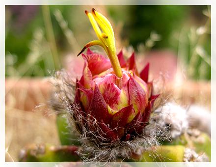 """Sono provviste di un fusto globoso, spesso allungato provvisto di costolature per tutta la sua lunghezza nelle quali si sviluppano le spine che altro non sono che le foglie trasformate che nascono da piccole protuberanze dette """"areole"""". I fiori sono molto grandi, appariscenti, di colore per lo più bianco-rosato variamente sfumati e profumati."""