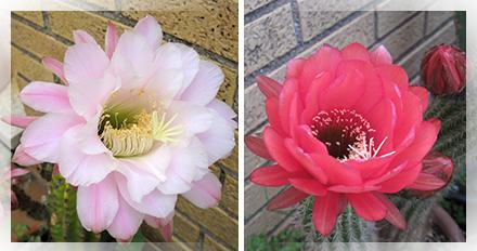 """Pianta della famiglia delle Cactacee. Il suo nome deriva dal greco """"trichòs"""" (pelo) e da """"cereus"""". Pianta originaria dell'America meridionale, di forma tubolare con ramificazioni o polloni alla base, ha spine areolari corte e fitte e pelose, poste sulle costonature; i suoi fiori, che generalmente fiorisco di notte, sono di colore bianco. Se ne possono contare almeno 40 specie (il genere Trichocereus è stato ora incluso nel genere Echinopsis)."""