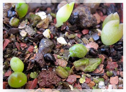 """Ormai siamo in pieno periodo di semine, le temperature minime infatti permettono di coltivare anche specie quali Adenium, Pachypodium ed altre succulente oltre alle più conosciute cactacee come Astrophytum, Mammillaria, Ferocactus, Echinocactus, Echinocereus, Gymnocalycium ecc.  Qualcuno di voi, pur avendo """"sotto mano"""" dei semi (magari prodotti dalle proprie piante), non ha ancora provato a seminare… ed allora che aspettate!"""