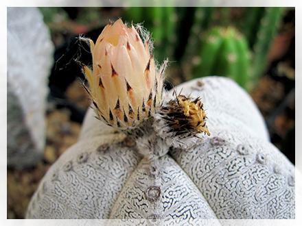 L'Astrophytum necessita di un terriccio molto poroso composto da terra, torba e sabbia, con una piccola aggiunta di calce agricola. Le annaffiature dovranno essere regolari avendo molta cura che non si formino residui di acqua, la terra dovrà essere molto asciutta tra una annaffiatura e l'altra perché la pianta è molto sensibile al marciume.  Durante il periodo invernale le annaffiature dovranno essere sospese del tutto e la pianta non dovrà essere esposta a una temperatura inferiore ai 4 °C. I rinvasi possono essere eseguiti anche ogni tre o quattro anni considerata la lentezza della sua crescita.  La riproduzione avviene per seme; il suo grosso seme andrà depositato, senza essere pressato, in un letto di terra mista a sabbia e mantenuto ad una temperatura di circa 21 °C: inizierà a germogliare in brevissimo tempo.