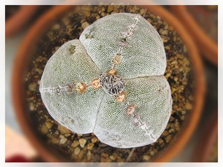 L'Astrophytum (Lemaire 1839) è un genere di pianta succulenta appartenente alla famiglia delle cactacee. Il suo nome deriva dal greco astèr (stella), per la caratteristica forma a costole che dall'alto lo fa somigliare ad una stella e phytòn (pianta). È originario di alcuni areali delimitati del Messico e vive normalmente in terreni semi-aridi e leggermente calcarei.  Gli Astrophytum hanno un fusto globuloso formato da quattro ad otto sezioni divise tra di loro da solchi più o meno profondi. I fiori gialli o giallo-rossi si sviluppano dalle areole presenti alla sommità del fusto.  L'elemento maggiormente caratterizzante gli Astrophytum rispetto alle altre cactaceae è la presenza di numerosi puntini bianchi in rilievo sparsi in misura più o meno rilevante sul fusto di tutte le specie appartenenti a questo genere. Il loro ruolo non è ancora stato ben definito dalla letteratura scientifica, tuttavia si ritiene che la loro funzione principale sia quella di favorire la mimetizzazione della piante negli ambienti rocciosi in cui sono normalmente inserite, allo scopo di ridurre la possibilità di distruzione da parte di animali fitofagi. Si ritiene che altre funzioni possano essere legate alla protezione del fusto dai raggi solari e alla capacità di trattenere più efficacemente l'umidità.