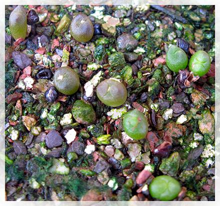 Gli Astrophytum, il cui nome deriva dal greco 'aster' (stella) e 'phyton' (pianta) hanno da sempre esercitato un fascino particolare nei confronti degli amatori di cactacee, fascino che è andato crescendo da quando sono stati immessi sul mercato numerosi, spettacolari ibridi.  Nel 1827 Thomas Coulter raccolse nello stato messicano di Hidalgo una pianta che oggi chiamiamo A. ornatum, ma che fu descritta nel 1828 da De Condolle col nome di Echinocactus ornatus. Nel 1839 Charles Lemaire attribuì il nome di A. myriostigma ad una pianta raccolta nel nord del Messico. Nello stesso anno H. G. Galeotti chiama Cereus callicoche, che diverrà A. myriostigma, una pianta raccolta in San Luis Potosí. Nel 1845 anche J. G. Zuccarini descrisse come Echinocactus asterias una pianta raccolta da Karwinsky due anni prima.  Nel 1851 Poselger trova a Coahuila una specie, che Dietrich descrive come Echinocactus capricornis, che in seguito assumerà il nome di A. capricorne. Moeller, nel 1927, chiama Echinocactus myriostigma ssp. coahuilense una pianta che nel 1932 Kayser ridenomina come A. coahuilense.