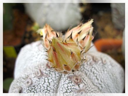 Ha normalmente da quattro a otto costolature ampie ricoperte di minuscoli ciuffi lanuginosi che a prima vista paiono piccoli puntini biancastri. Più raramente si trovano in natura esemplari a tre costolature o forme colonnari, spiraleggianti o nude, ovvero non dotate dei caratteristici punti bianchi che ricoprono il fusto. Accanto alle varietà naturali sono diffusi in coltivazione numerosi ibridi orticoli, tra i quali Astrophytum myriostigma cv.onzuka, caratterizzato da costolature molto ingrossate.