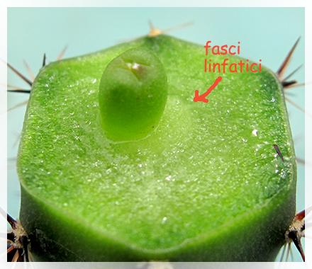 L'innesto è una tecnica che consente di unire due piante, o loro parti, per saldarle come se si trattasse di una unica pianta. La pianta che riceve l'innesto si chiama portainnesto, quella che si inserisce marza.
