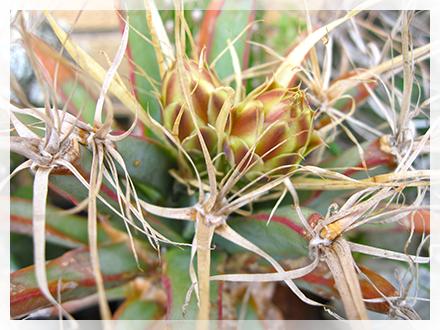 Genere appartenente alla famiglia delle Cactaceae che comprende una sola specie: la Leuchtenbergia principis. Il suo nome pare derivi da Eugene de Beauharnais (1781 - 1824) o da Joseph de Beauharnais, duchi di Leuchtenberg, senza che tuttavia nessuno dei due avesse particolare fama di botanico.  Pianta originaria del Messico, la Leuchtenbergia ha grosse radici dalle quali si apre una rosetta di lunghi rigidi tubercoli a sezione triangolare simili a quelli dell'Agave che hanno all'apice un'areola da cui si apre a sua volta una rosetta di circa 8 spine di consistenza cartacea con una centrale più lunga. Quando i tubercoli basali seccano, lo staccarsi degli stessi dà vita ad un breve fusto.  Il fiore della Leuchtenbergia è imbutiforme e con molti petali; nasce dalle areole dei tubercoli giovani posti al centro della pianta ed ha un colore giallo con petali a volte rossastri all'esterno e un leggero profumo.  La Leuchtenbergia ha delle affinità genetiche piuttosto marcate con i Ferocactus, e sono state prodotte negli ultimi anni forme ibride tra i due generi (Ferobergia).