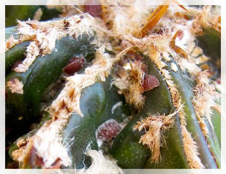 Sotto la lente d'ingrandimento, un'infestazione da cocciniglia cotonosa assomiglia ad un raggruppamento di piccoli pidocchi coperti da una cerea sostanza bianca. Come debellarli? Ecco di seguito il primo di due articoli a riguardo! La cocciniglia cotonosa si nutre della linfa delle piante che ha infestato: le sue uova si nascondono e si schiudono sotto un rivestimento biancastro. L'aspetto è quello di una muffa innocua: a lungo andare però, se il parassita non viene combattuto, può compromettere seriamente il sistema di sostentamento della pianta, provocandone prima un collasso generale ed infine la morte. Alle piante da esterno la cocciniglia può causare danni durante l'estate; in appartamento ed in serra invece, dove il potere infestante aumenta, colpisce soprattutto in autunno e nel primo periodo invernale.