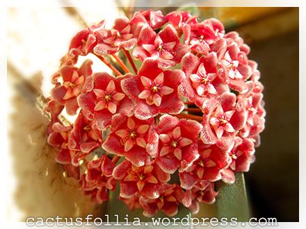 Fiore di cera cactusfollia for Pianta di cera
