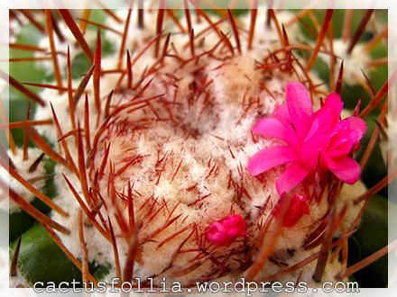 """Il Melocactus è un genere di piante succulente della famiglia delle Cactaceae, comprendente circa 40 specie.  Il nome deriva dal latino melo (melone) unito a cactus, data la forma del fusto che presenta all'apice una forma globulare o cilindrica detta """"cefalio""""; questo, alla cresceti si presenta emisferico e prende poi forma cilindrica quando raggiunge la crescita.  Originari dell'America centro-meridionale, i melocactus, sono piante molto rare e delicate. I fusti hanno forma simile a tutte le comuni cactacee; sono di colore verde e presentano costolature con areole più o meno spinose.  La crescita è molto lenta e la riproduzione avviene solo per seme in quanto la pianta non produce polloni, ed è questo uno dei motivi che rende la pianta rara. A volte le piccole piante vengono innestate sui fusti di Trichocereus"""