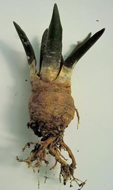Ariocarpus ibrido con ciuffetti pelosi sui suoi tubercoli.